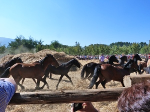 Mares trample the wheat at a trilla a llegua suelta